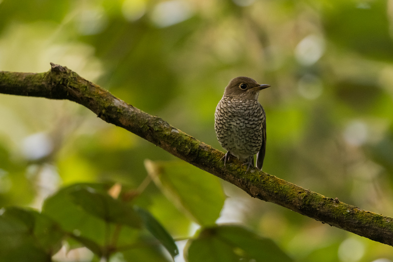 Blue-capped Rock Thrush (f)