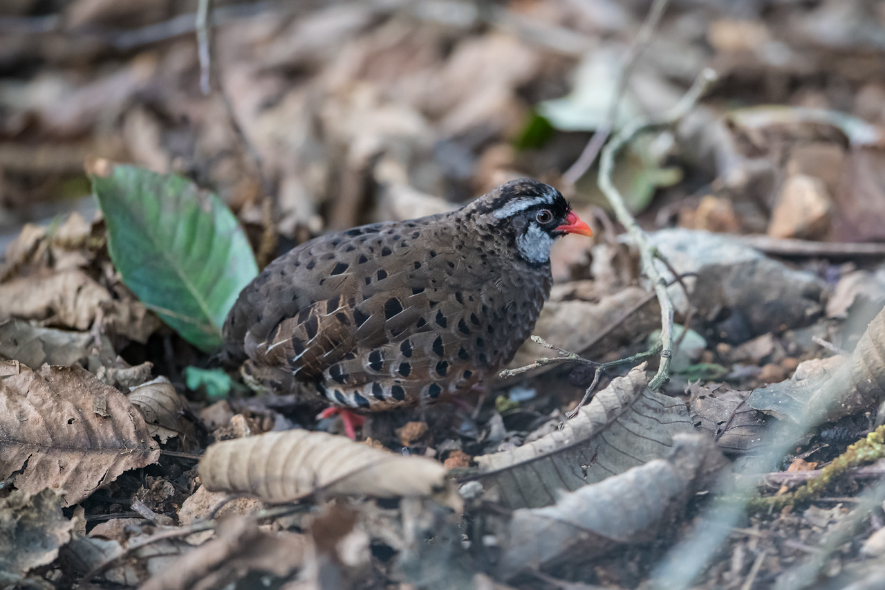 Painted Quail (Perdicula erythrorhyncha)