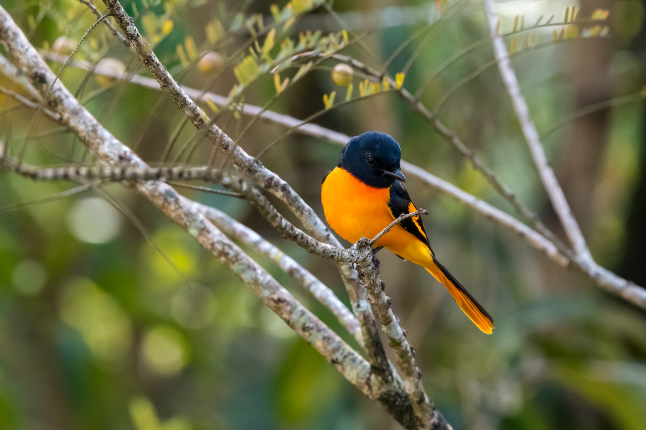 Orange Minivet (Pericrocotus flammeus)