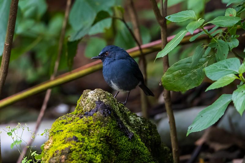 White-bellied Blue Robin (Myiomela albiventris)