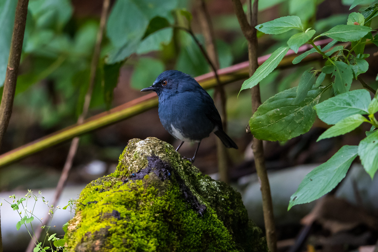 White-bellied Blue Robin (Myiomela albiventris)