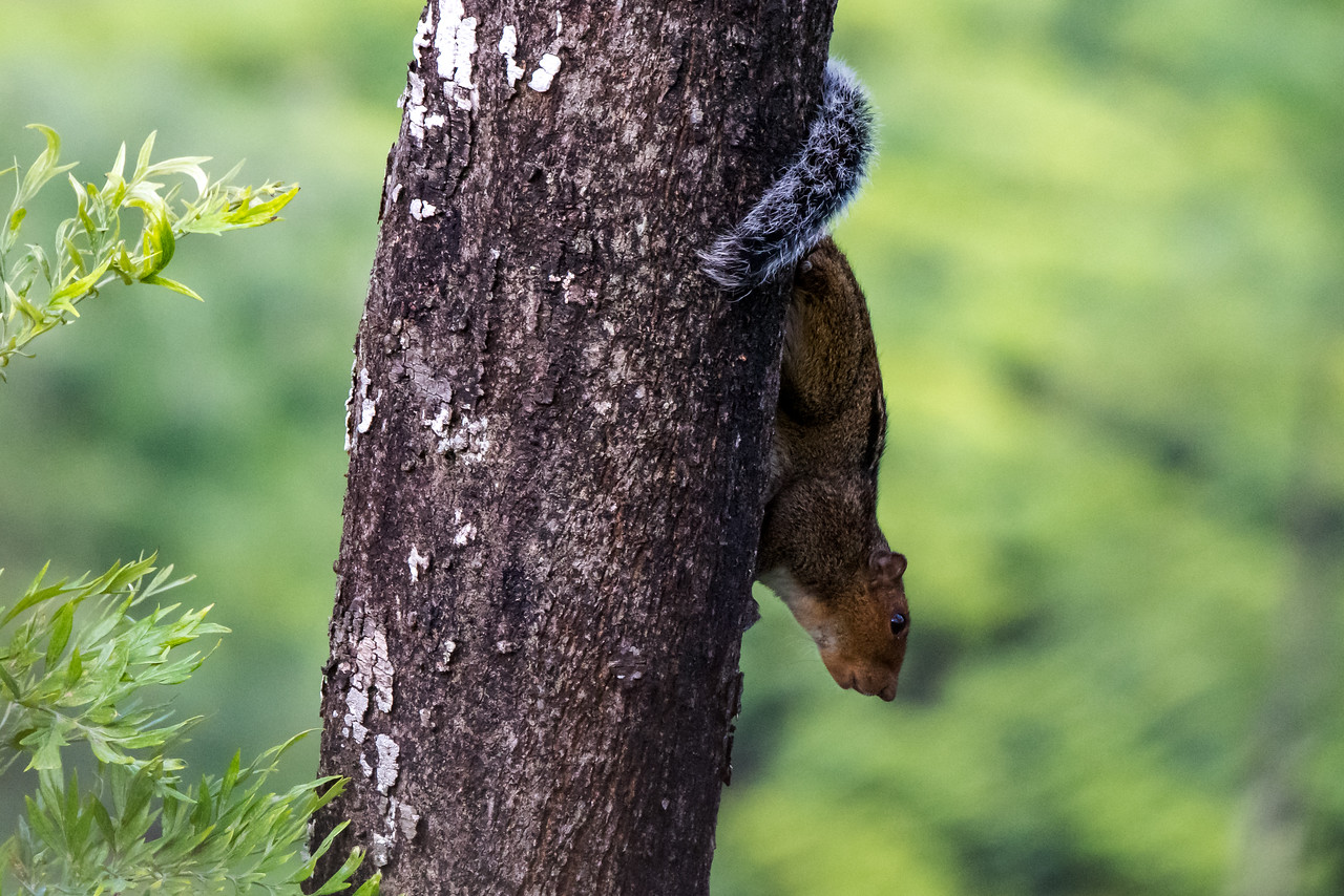 Dusky-striped Squirrel