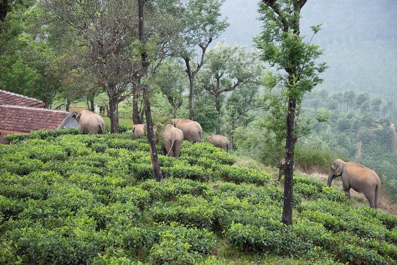 Elephant herd in the property