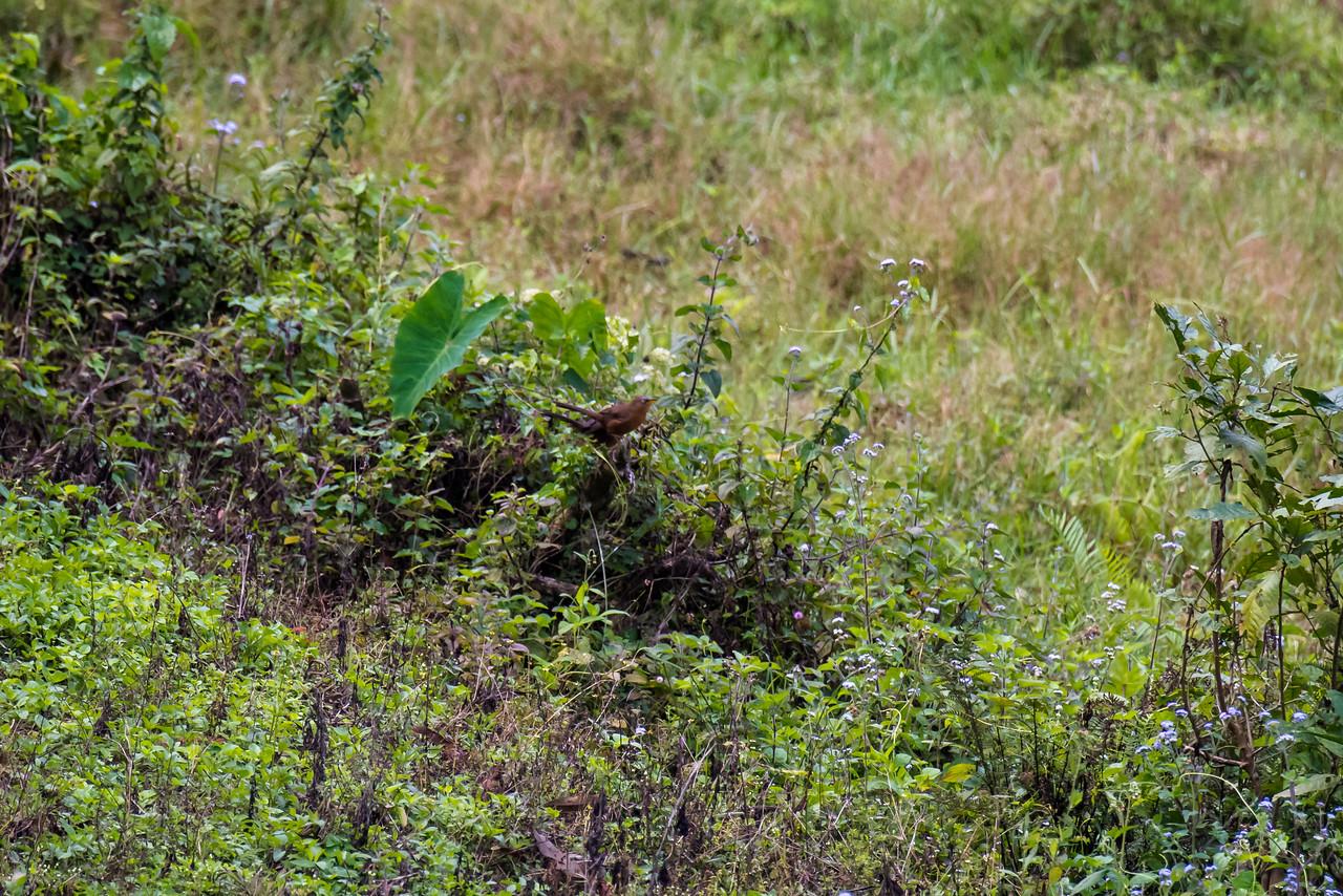 Rufous Babbler