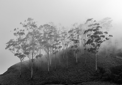 Trees and Fog #1 - Veiled