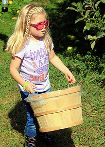 Roger Schneider | The Goshen News Autumn Bingaman, 5, Granger, carries a bushel basket as her family pickes apples Saturday at Kercher's Sunrise Orchard and Farm Market in Goshen.