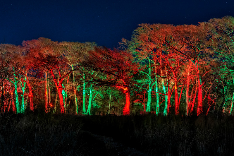 Christmas Lit Cypress Trees along the Guadalupe River
