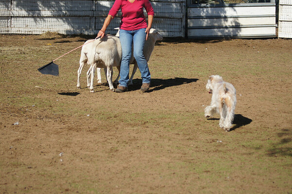 herding Lacie the wheaten