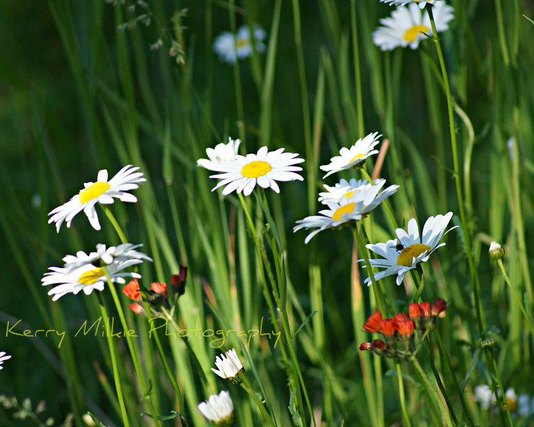 Daisies of all colors