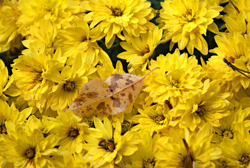 Fall's Yellow