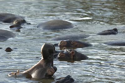 Hippo Yawn. - Serengeti