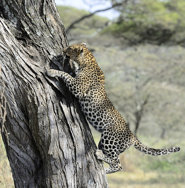 Climbing - The Leopard Way
