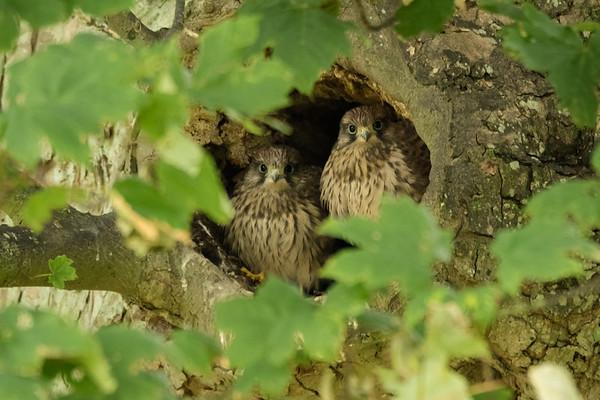 Kestrel Chicks
