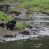 3 bears and an Eagle at Herring Cove on S. Tongass highway - Ketchikan Alaska