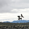 Eagles along Tongass Highway - Ketchikan Alaska