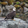 Eagle along S Tongass Highway in Ketchikan Alaska