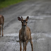 Deer on Tongass Highway - Ketchikan Alaska