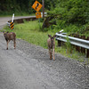 These deer were curious about the clicking of our cameras and at one point were running toward us!   These deer were located south of Herring Cove on Tongass Highway.
