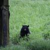 Bear in Herring Cove - Ketchikan Alaska