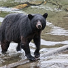 Bear in Herring Cove - Ketchikan Alaska - This bear picture made the front page of sitnews online in Ketchikan Alaska.  The bear appears to have a previous injury on his right leg.