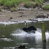 Bear after a salmon in Herring Cove - Ketchikan Alaska