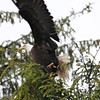 Eagle along S. Tongass Highway in Ketchikan Alaska.