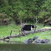 Bear in Misty Fjords National Monument.