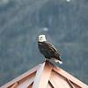 Eagle at Narrows Inn - Ketchikan Alaska