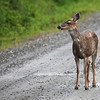 A deer on S. Tongass Highway.