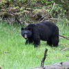 Bear at Misty Fjords National Monument.