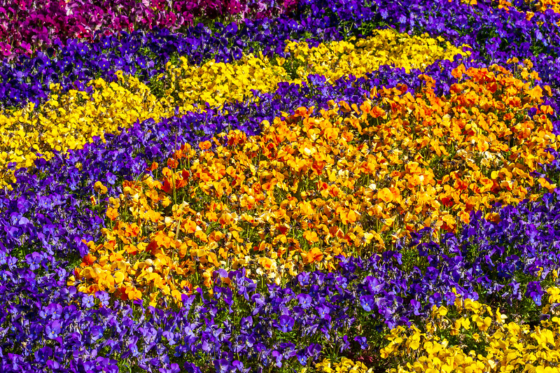 A bed of yellow, orange and purple flowers.