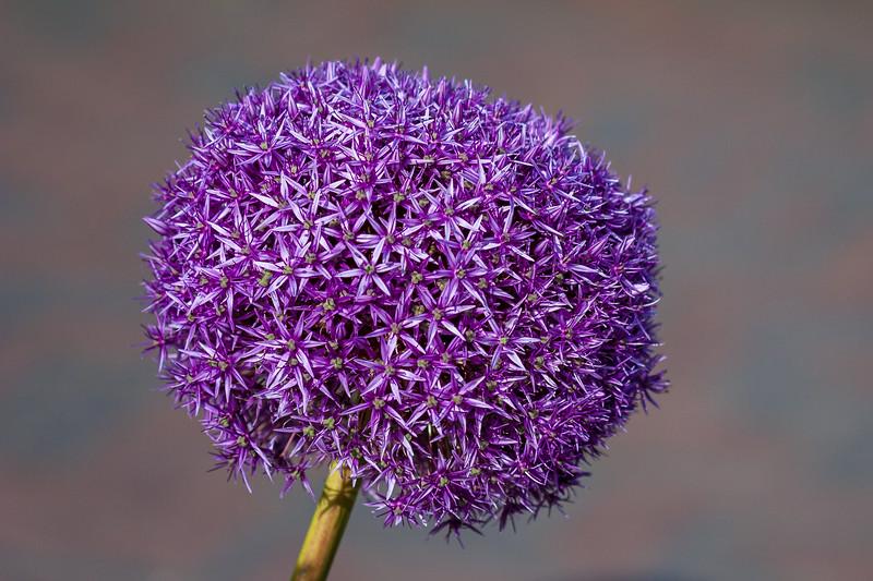 Purple flower head of giant ornamental onion.