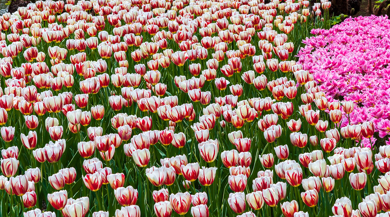 Flower bed of red and white tulips