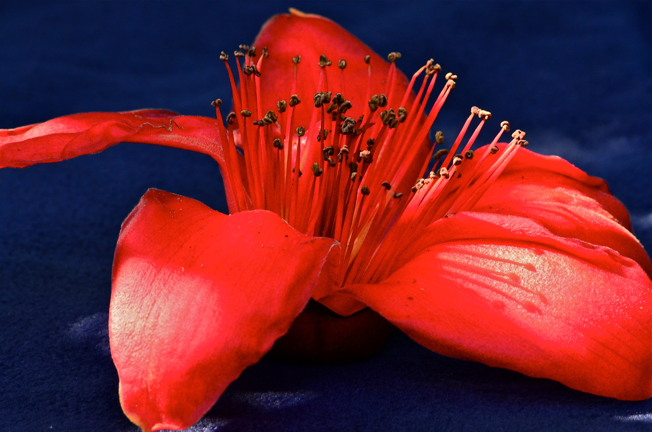 This beautiful red flower of the Asian Red Silk Cotton Tree measures over six inches across.  These trees can grow very tall and although very pretty when in bloom, they are a very messy tree to have in your yard when the flowers begin to drop.