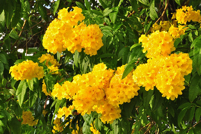 Yellow Elder