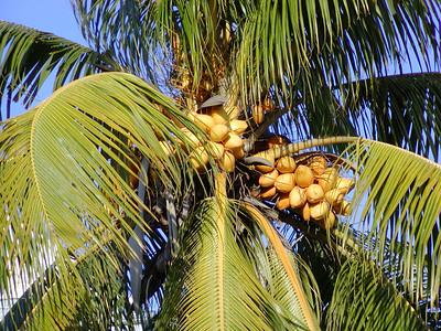 Malayan coconut