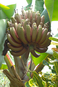 Key West Red Bananas