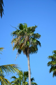 Washingtonia Palm
