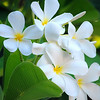 Frangipani is the common name given to the Plumeria tree. The fragrant flowers on these tropical trees vary from white to deep red with fragrances ranging from coconut to jasmine.  Plumeria flowers are used to make leis in Hawaii.