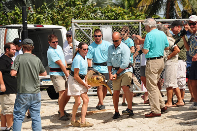 After being hit by a boat and later rescued, Karl a 200 lb. Loggerhead turtle was released back to the ocean after a 3 month recovery at the Turtle Hospital in Marathon.  Also helping with the release on October 21, 2009 was Weatherman Jim Cantore and the Weather Channel film crew.