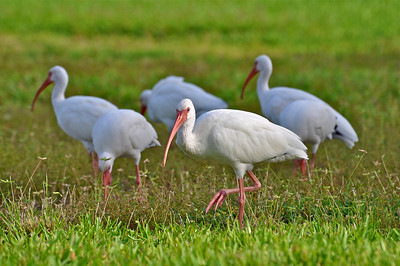 White Ibis.