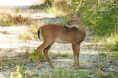 Key Deer are an endangered specie and can only be found on Big Pine and No Name Key's.  They only get about four feet tall and roam free on the islands.