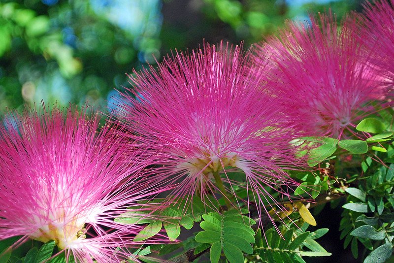 Powder Puff tree