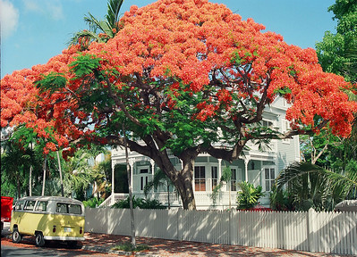 Royal Poinciana Tree on Southard Street