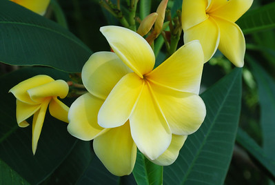 Frangipani tree with yellow blooms