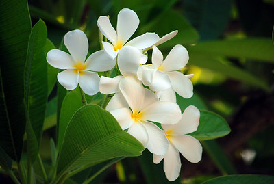 Frangipani tree with white blooms