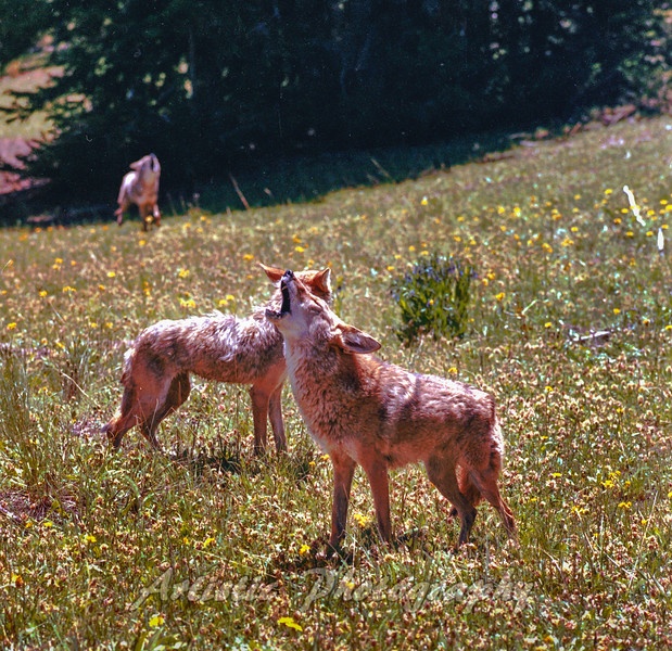 Coyote Quartet