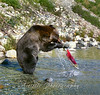 Grizzly Bear Salmon Fishing