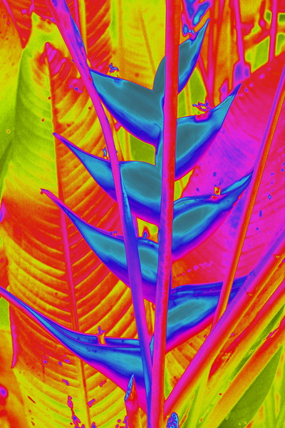 Heliconia in Blue