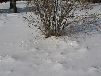 American Tree Sparrow tracks